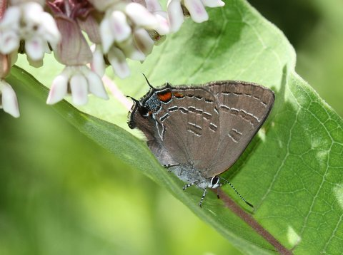Banded hairstreak photo'd by Dave Amadio in Haddon Heights (Camden Co) 6-15-14.