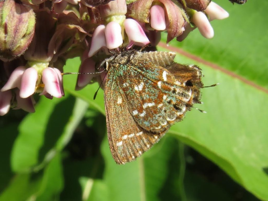 A second-brood Hessel's hairstreak at Double Trouble State  Park (OCN), photo'd by Jim Springer on June 27, 2014.