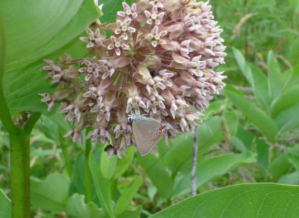 Coral hairstreak, our first for 2014, photo'd by Steve Glynn in CUM on June 18.