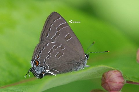 Hickory hairstreak photo'd by Dave Amadio in Sussex County -- the uptick is marked.