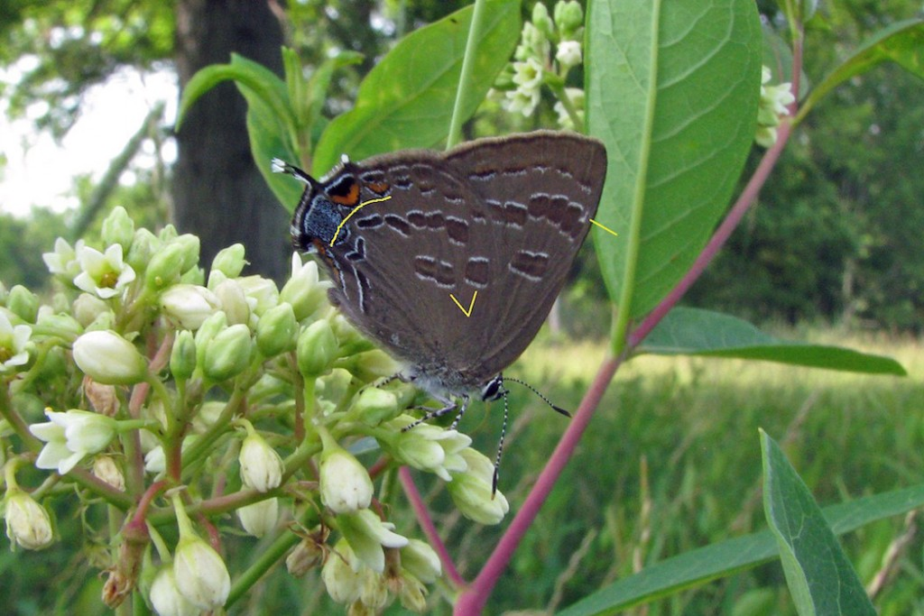 Hickory hairstreak photo'd by Jim Springer June 2011 i Morris County.  See his comments below.
