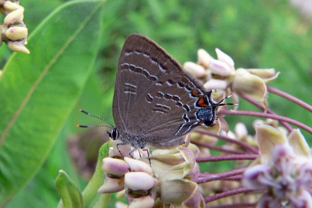 Banded hairstreak, for contrast.  Photo'd Cologne, NJ (Atlantic Co) in July, 2005.