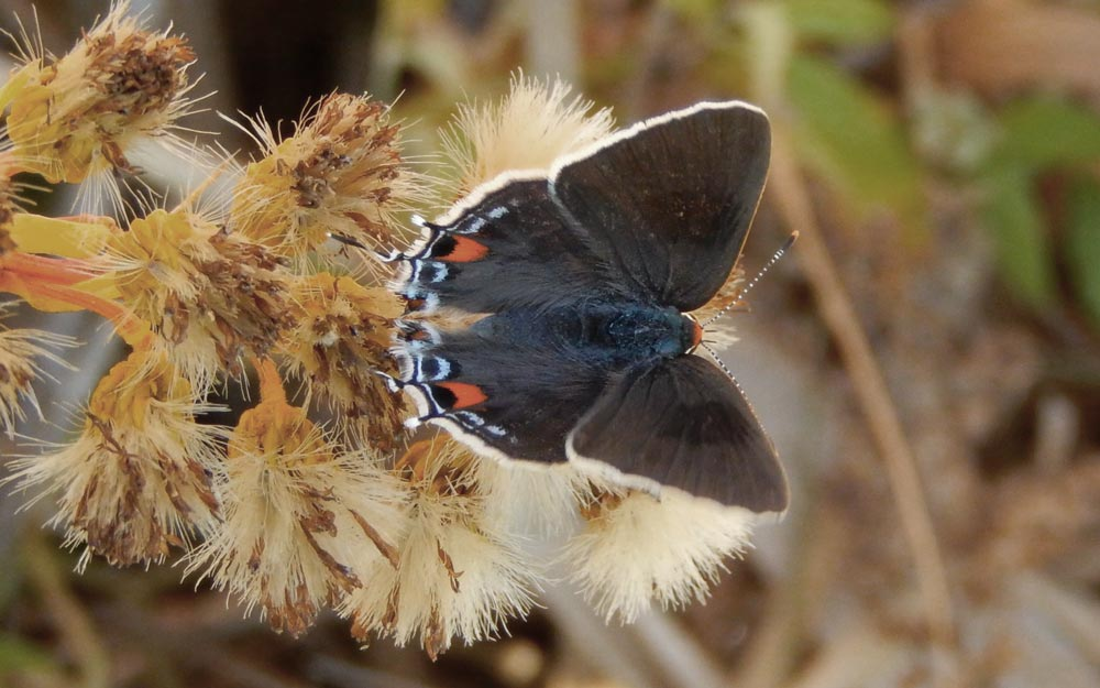 This gray hairstreak, photographed by Jack Miller at Heislerville, CUM, on 11-16-15 established a new latest-ever date for our log. Could we possibly find another this December?