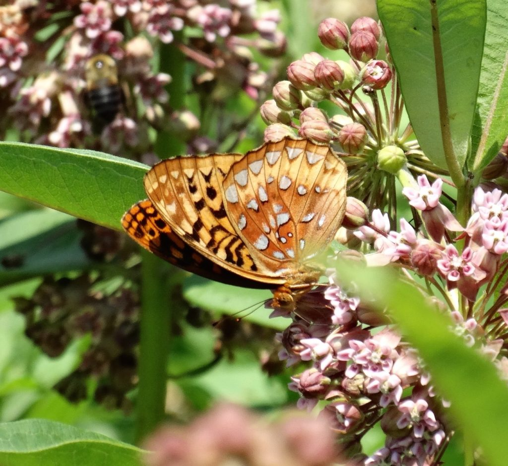 "Salem County is our ""hot spot"" for great spangled fritillary, as documented by Sandra Keller with this photo taken in Marilyn Patterson's garden on June 25."