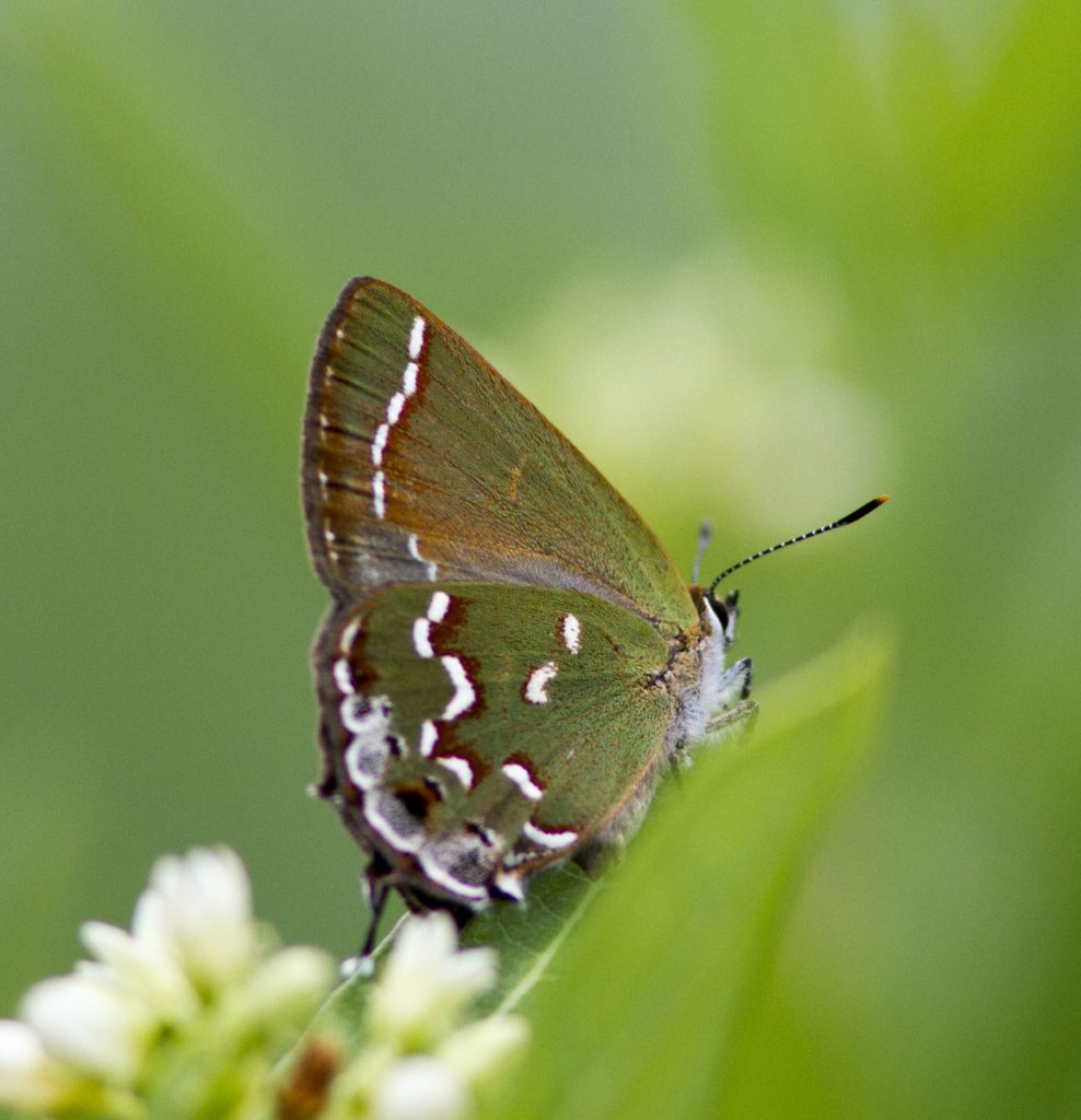 After being so hard to find in their first brood, juniper hairstreaks appeared in multiple sites in July, including this one photo'd by Beth Polvino on Rt 47 in CMY.