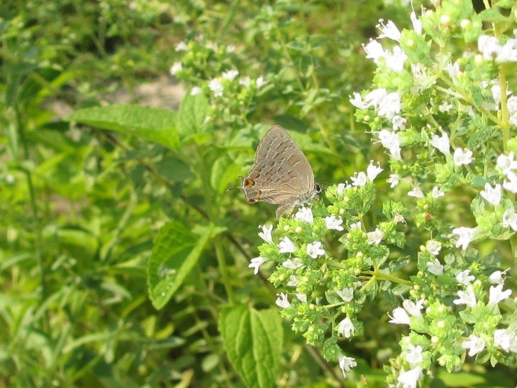 Cynthia Allen found a late striped hairstreak (our final Satyrium for 2016?) in her garden in Cape May Courthouse on July 27.