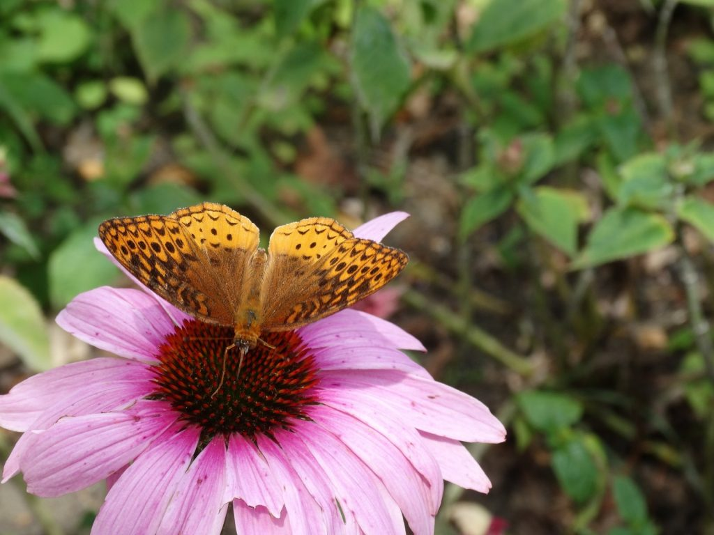 We now have reports of great spangled fritillary in four counties in 2016: Salem, Cumberland, Ocean, and here for Glocuester -- photo'd by Chris Herz at Wheelabrator on July 4.