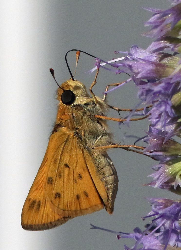 Harvey Tomlinson documented our FOY fiery skipper in his garden, CMY, on July 11.