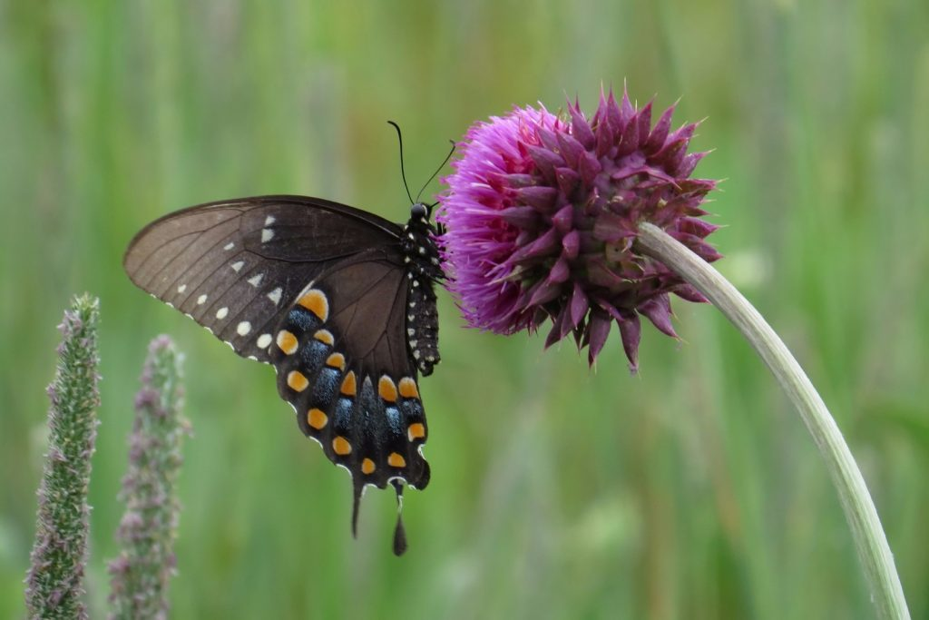 Spicebush swallowtails were widely reported in July. This beauty was photo'd by Jennifer Bulava on July 3 in Lummis Ponds Preserve, CUM.