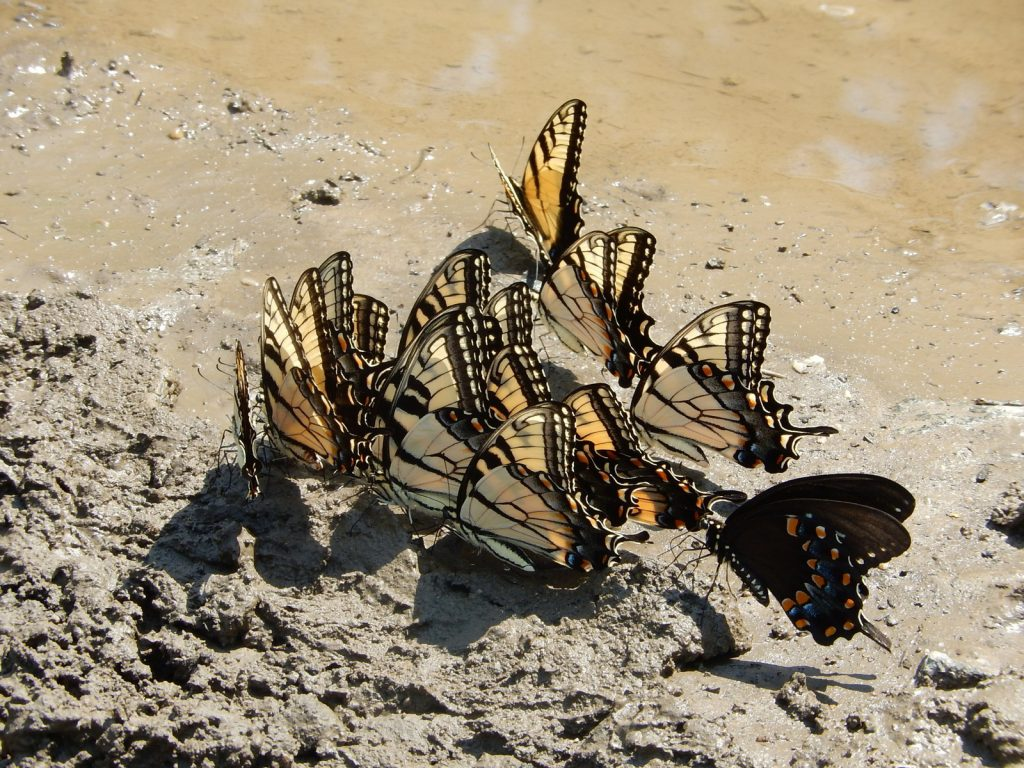 Puddling tigers (with one spicebush) at Beaver Swamp WMA (CMY) photo'd by Jack Miller on July 20.