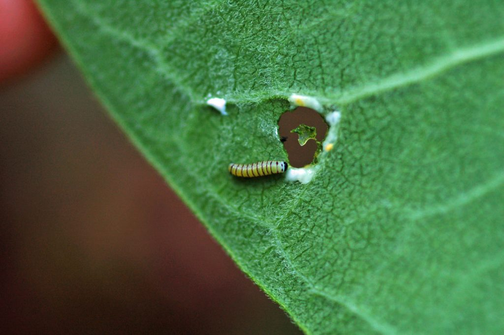 Monarchs moved from scarce earlier in the year to relatively common in July and we collected multiple records of eggs and cats including this early instar photo'd by Pat Sutton in her garden in Goshen on July 8.