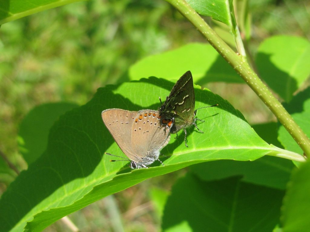 One of the most extraordinary finds of our nine years of logging: gray and juniper hairstreaks mating -- photo'd by Steve Glynn near Newfield, CUM, on July 11. What a find!