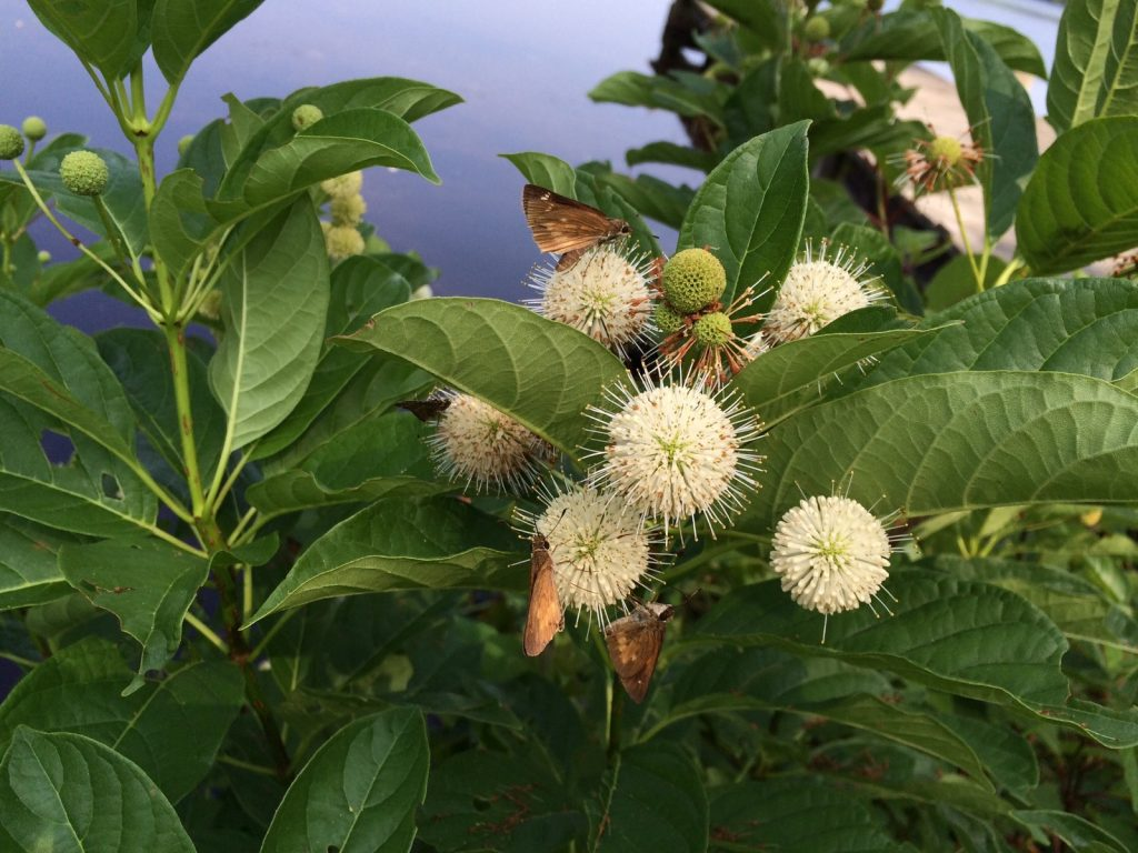 Broad-winged skippers nectaring on buttonbush at Paper Mill Pond, CMY, photo'd by Teresa Knipper on July 25.