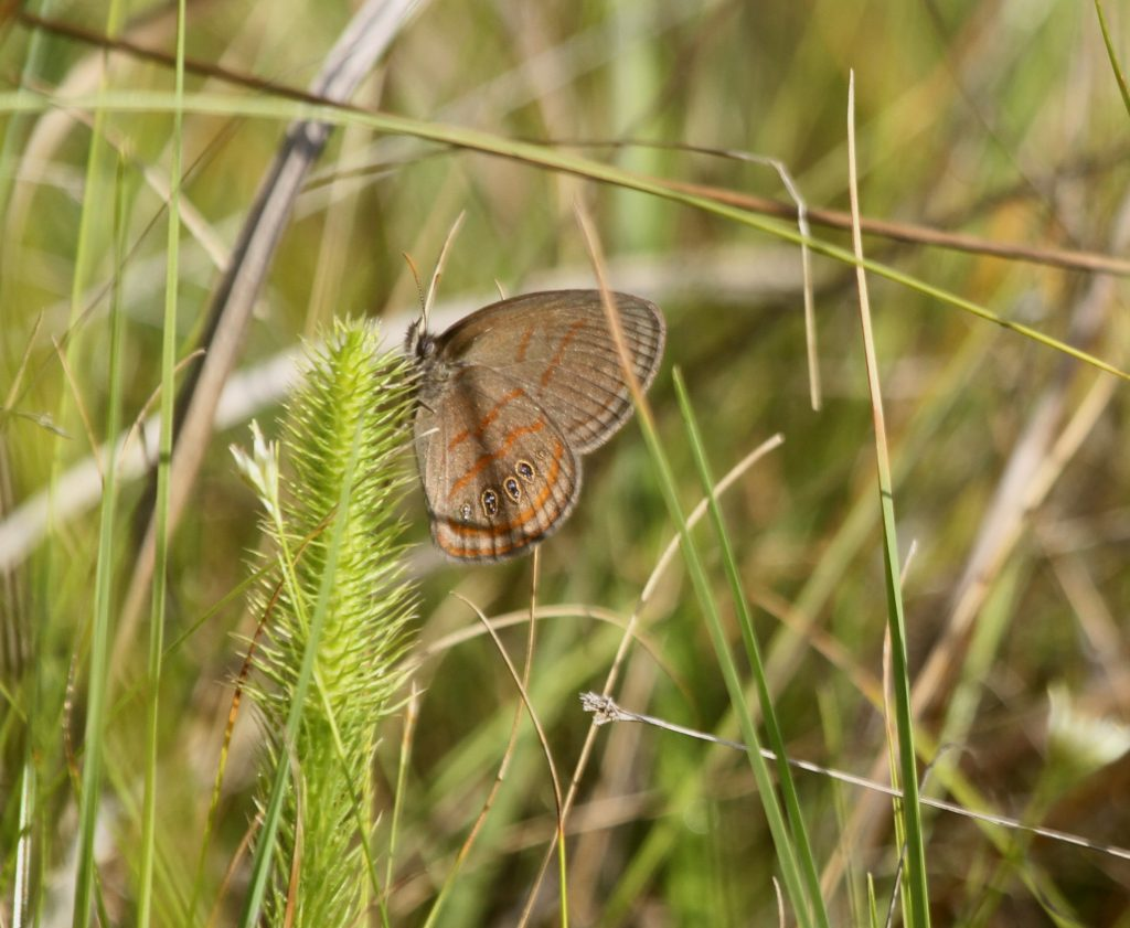 Brian Johnson found second-brood Georgia satyrs flying at a bog in BUR on 8-25-16.  Most sources consider NJ's population of this rarity to be single-brooded, flying in June-July.