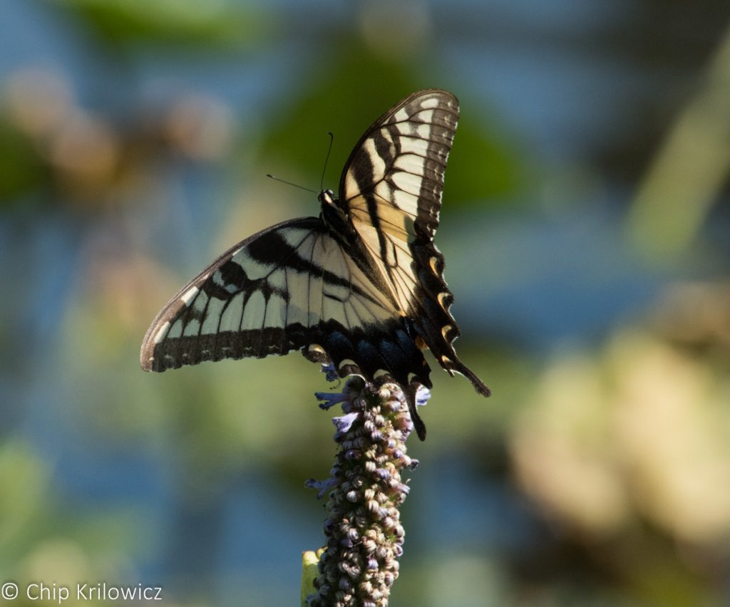 Chip Krilowicz photo'd this eastern tiger swallowtail at Newton Lake Park, CAM, on 8/20/16.