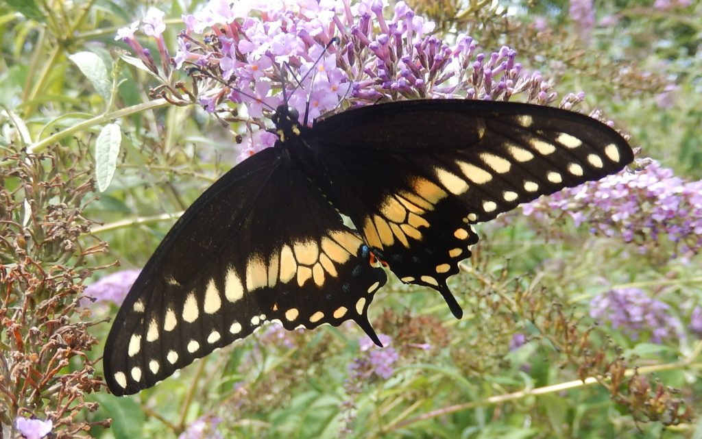 Jack Miller photo'd this male black swallowtail in his garden in Petersburg, CMY, on 8/31/16.