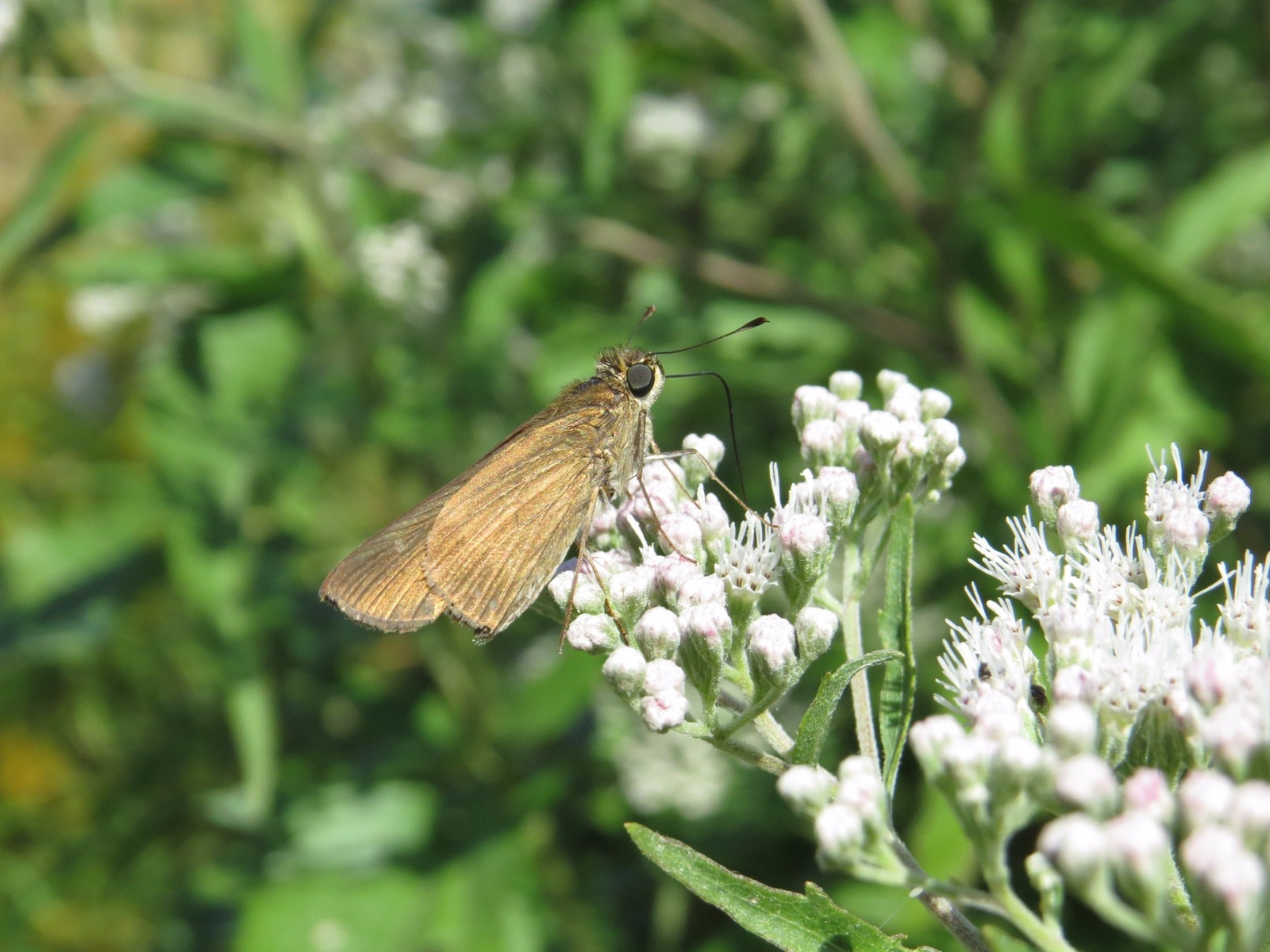 With this report and photo by Tom Bailey in Palmyra, BUR, Ocola skipper, our 89th specie, has now been recorded in 5 of our 8 counties:  GLO, CUM, CAM. CMY, and BUR.