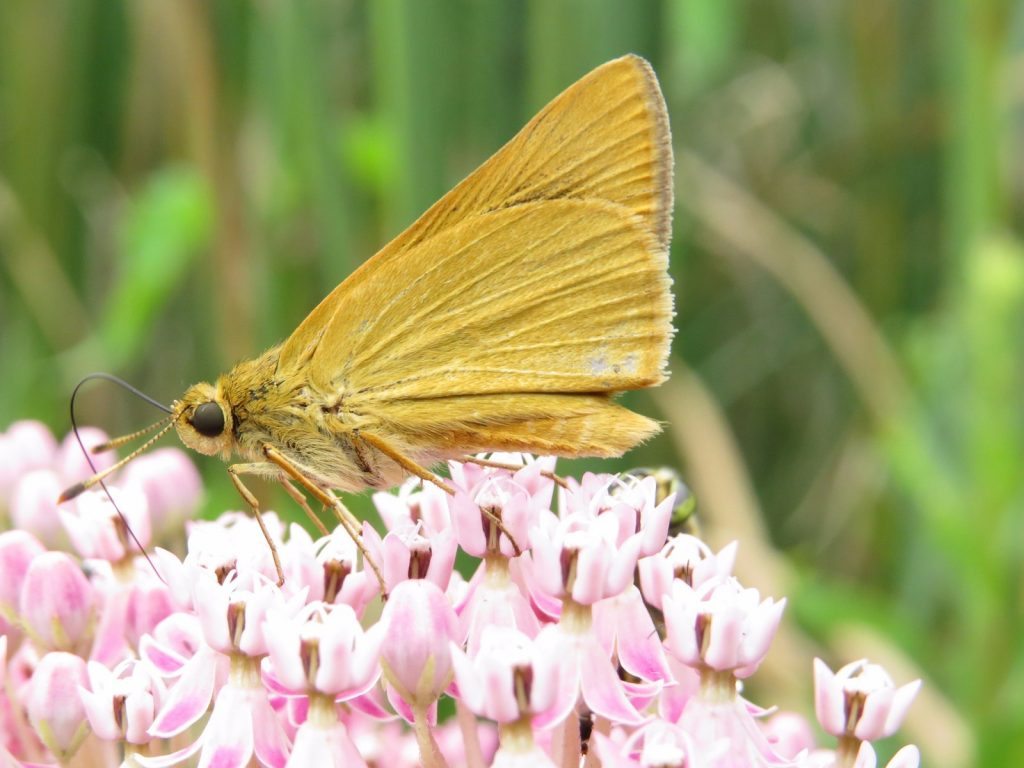 Our rare skipper reports spanned exactly one month, from July 1 to August 1, when Tom Bailey found this one at in Elsinboro, SAL.