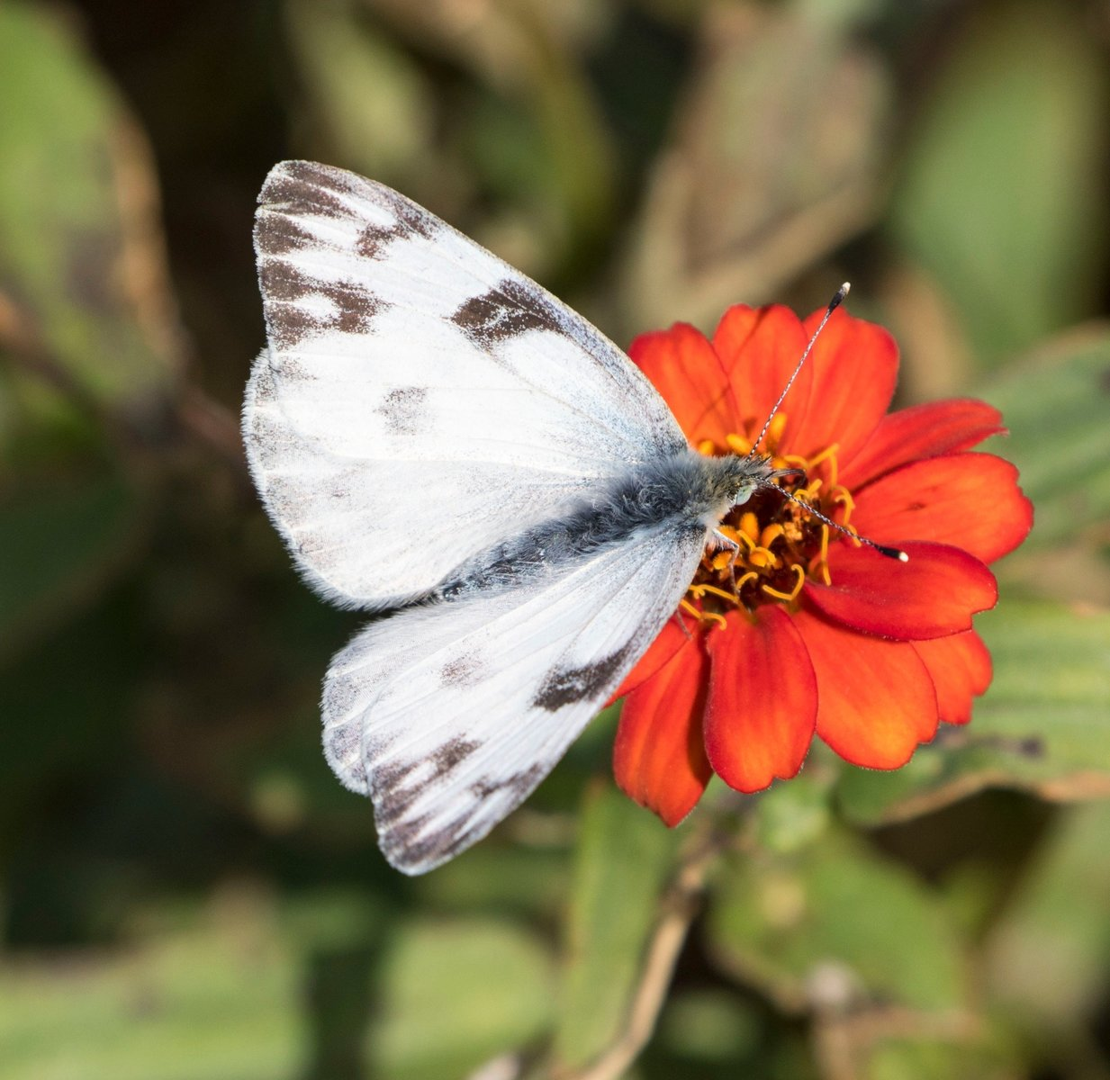 This female checkered white Beth Polvino found in her garden in CMY on 10-29-16 was only the second we have recorded in the county, 2008-2016. It was also our last reported in South Jersey for the year.