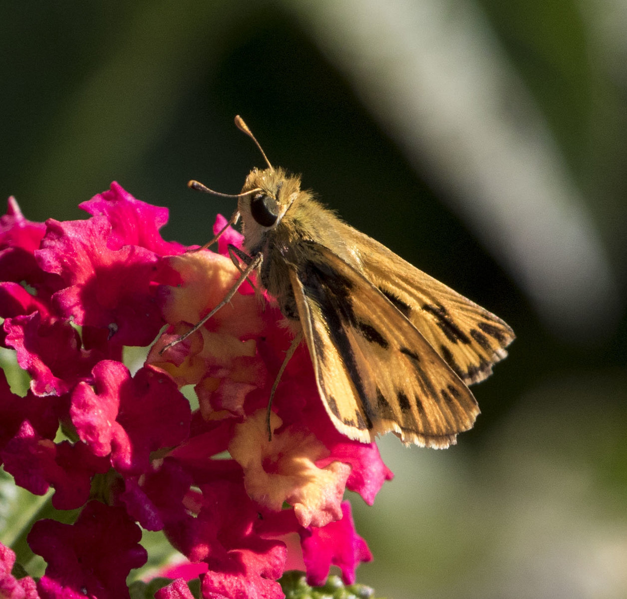It was an excellent summer and fall for fiery skippers, with sightings from July 11 to November 18. Beth Polvino found this female in her garden in North Cape May on 11/