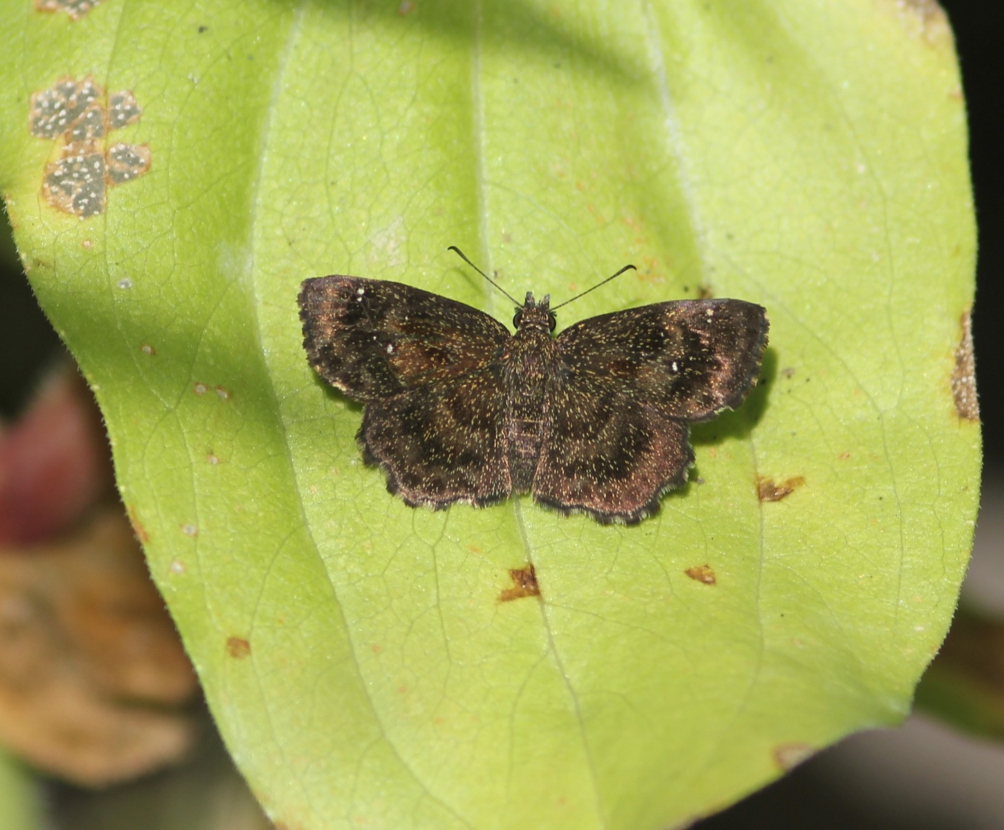 Dolores Amesbury photo'd this Hayhurst scallopwing in her yard on 9/22 -- one of only two found during the month.