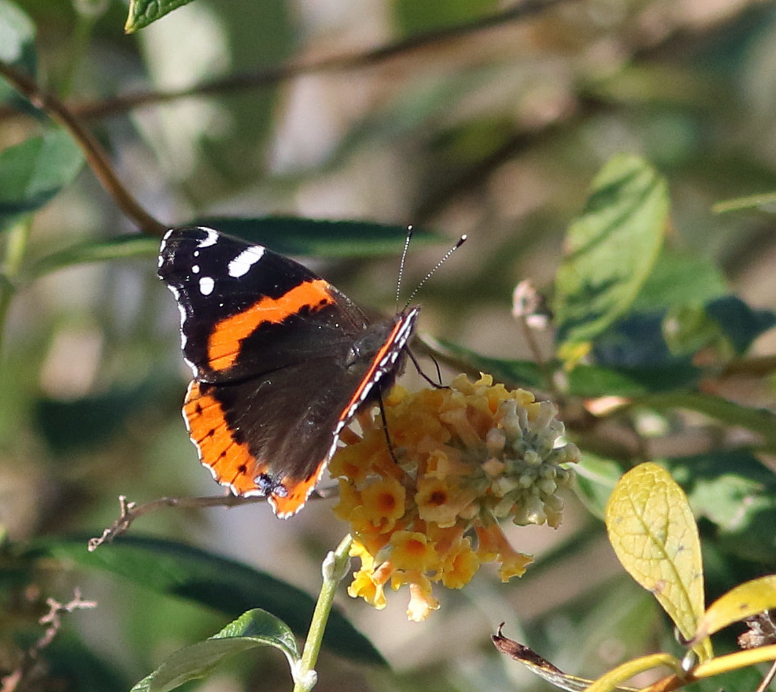 As of the 5th of the month, we have recorded 10 species for December, including this red admiral photo'd by Harvey Tomlinson in his garden in CMY on 12/1/16.