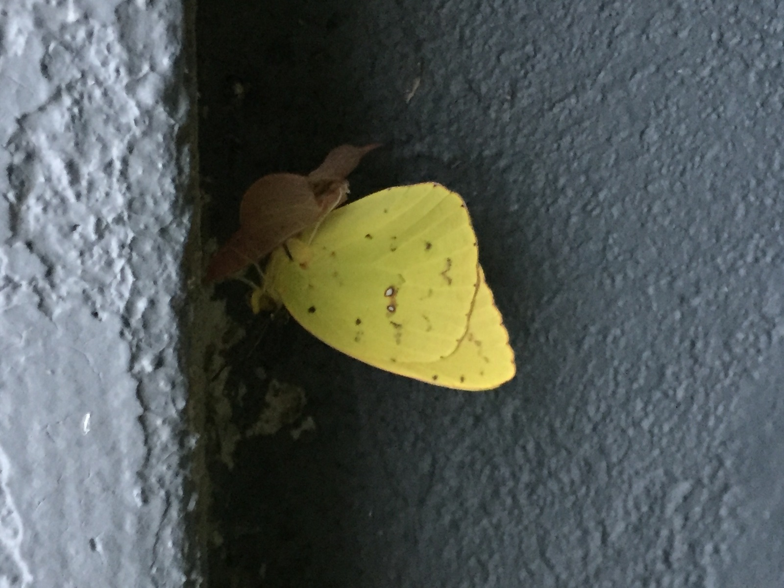 Virginia Rettig captured this cloudless sulphur eclosing in her yard in CMY on 9-27-16.