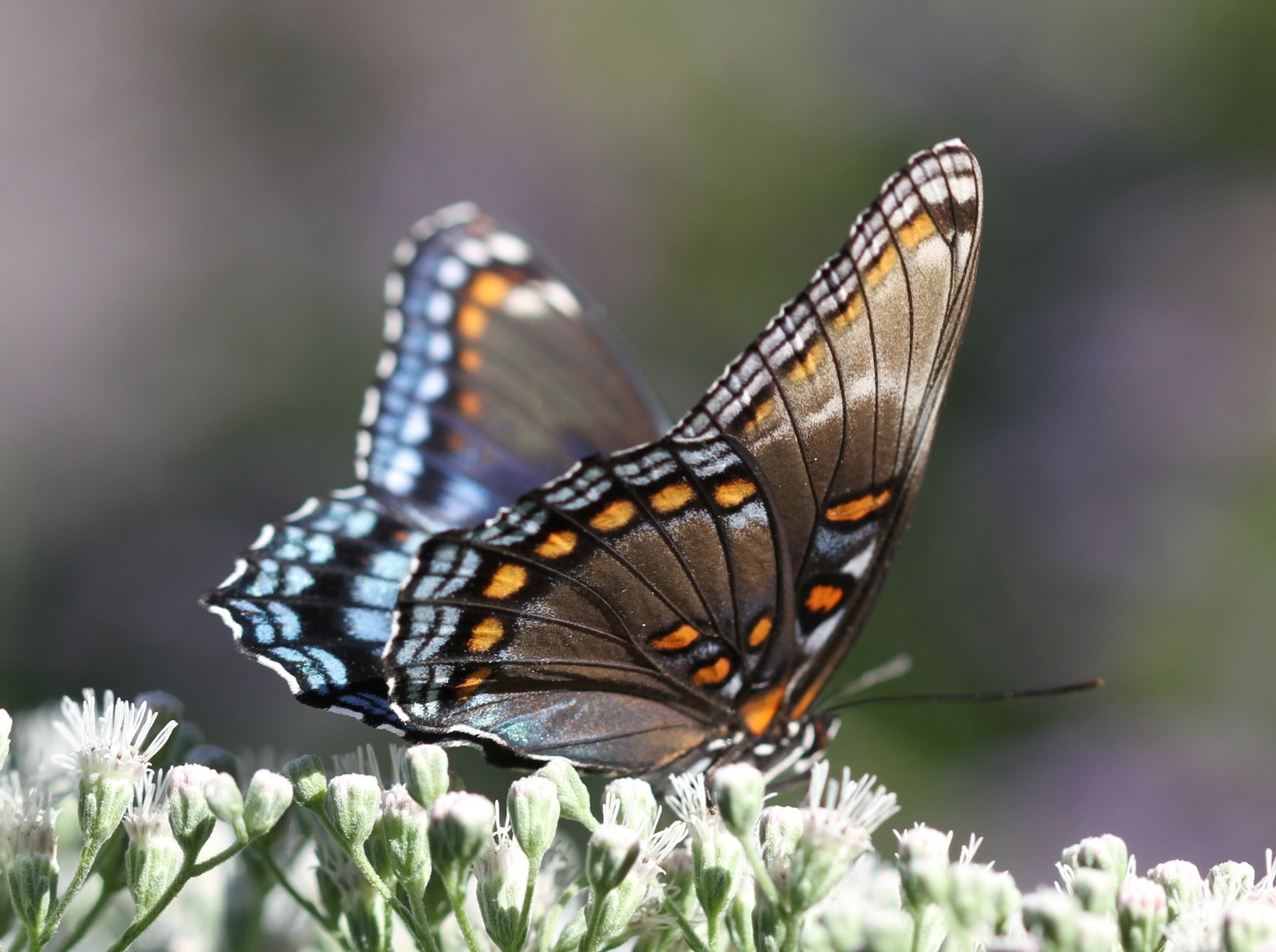 This red-spotted purple, photo'd by Dave Amadio in Mantua, GLO, on 9-25-16 shows faint white marks -- a pattern we have documented on a handful of rsp's over the years. We have yet to record a white admiral in South Jersey, however, so it seems this marks more likely reflect genetic variation in rsp's than hybrid ancestry.